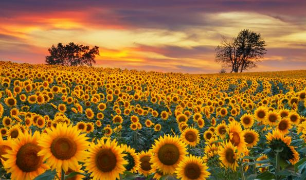 A sunflower field during sunset